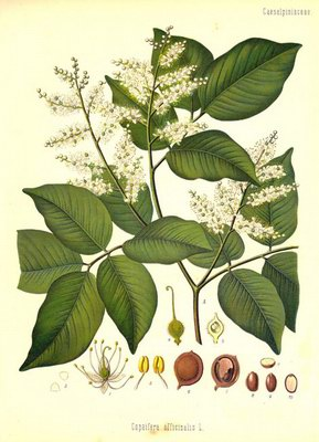 Копайфера лекарственная - Copaifera officinalis L.