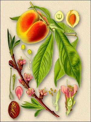 Персик обыкновенный (жердели) - Persica vulgaris Mill.