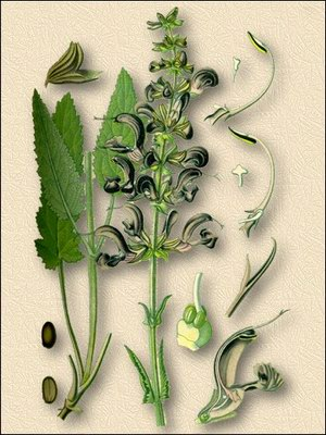 Шалфей лекарственный - Salvia officinalis L.